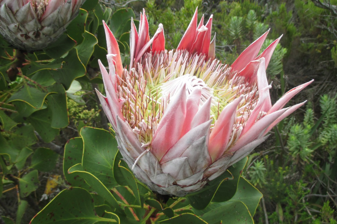TableMountainProtea