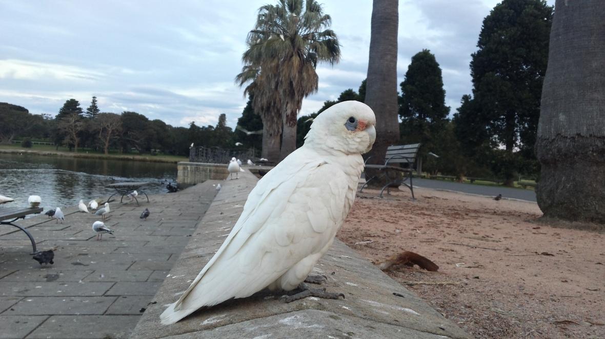 naughty cockadoo
