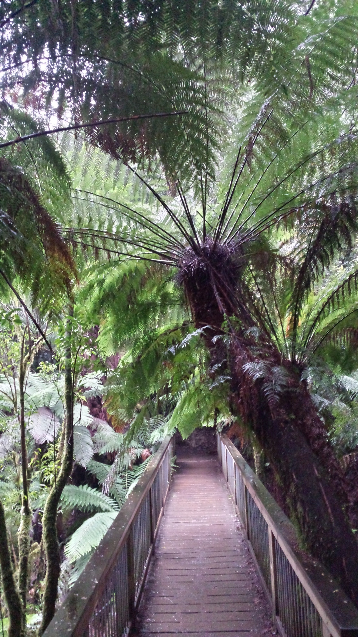 Farnbäume Great Otway Nationalpark