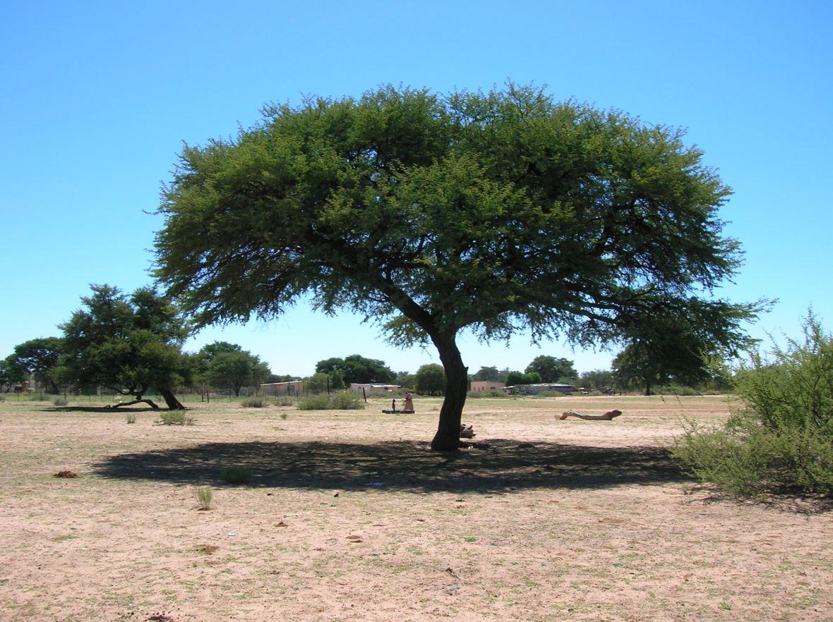 Cameldorntree