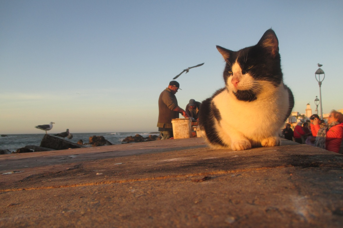 Cat Essaouira harbour
